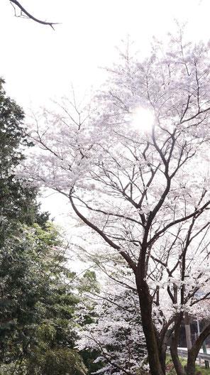 日が差した桜の写真フリー素材 Photograph-free material of cherry blossoms in the sun