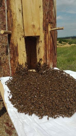 Ein Schwarm hält Einzug in eine Klotzbeute auf dem Weingut Fuchs-Jacobus