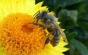 https://www.maxpixel.net/Italicum-Close-Up-Pollen-Bee-Collector-3589279