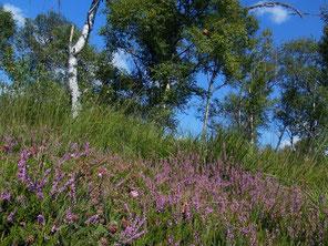 Heidefläche im Hochmoor (Foto: M. Lohmann)