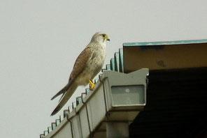 ※チョウセンチョウゲンボウ 2013年3月20日 神奈川県