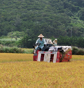 伊平屋島では温暖な気候を活かして2期作を行っている農家もいる。1期目は6月下旬から7月上旬頃、2期目は11月下旬から12月上旬頃に収穫。