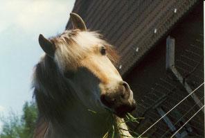 Monty,  Fjordpferd, Wallach, geb. 1992