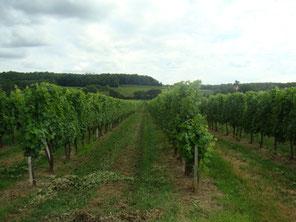 Vigne entretenue, branches palissées.
