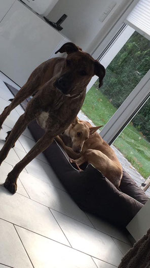 Die Freundinnen Nabilla (vorne) und Nina fanden nach langer Zeit jeweils ein eigenes Zuhause in Essen. Da die Besitzer ebenfalls befreundet sind und in unmittelbarer Nähe wohnen, sehen sich die Hunde weiterhin regelmäßig. Das freut uns ganz besonders.
