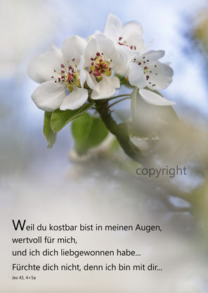 wilde Birnblüte