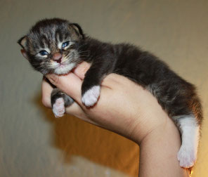 Rascoon C (black tabby / white) male 12 days