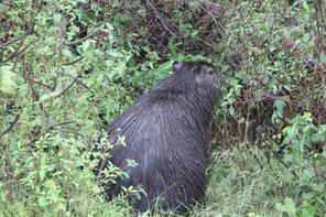 rencontre avec le capibara