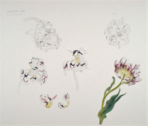 Wilted Tulips 萎れていくチューリップ、Carnivel de Niece, Pencil drawing, Watercolor painting