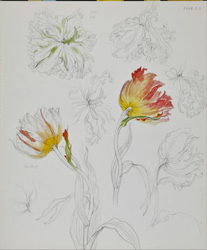 Wilted Tulips 萎れていくチューリップ  Pencil drawing, Watercolor painting