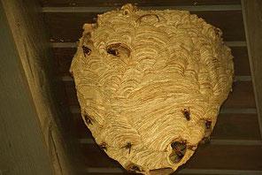 Nest der Asiatischen Hornisse an einem Dachüberstand. Nur ab und an hängen die Nester an Gebäuden in allen Höhen zwischen 3 und mindestens 23 Metern.