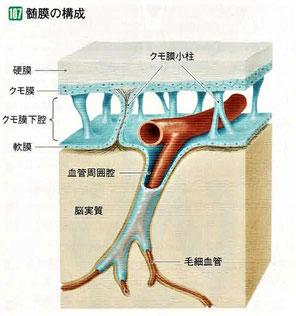 髄膜の構成