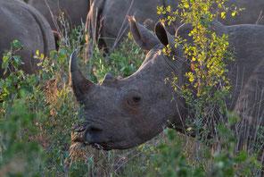 Los rinocerontes como este en la Reserva Hluhluwe Game en Sudáfrica son especialmente vulnerables durante los conflictos armados, debido a la continua e ilícita demanda de cuernos. / Joshua Daskin.