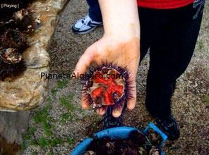 Ricci Alghero, un bellissimo Riccio rosso ricco di polpa