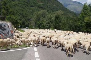 ボイ谷を上っていく沢山の羊の群れ