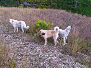aufmerksame Hirtenhunde