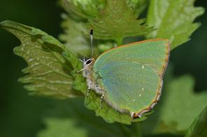 Grüner Zipfelfalter frisch geschlüpft 2020-04-09 (Foto: W. Düring)