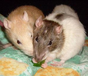 Lexy Rats
