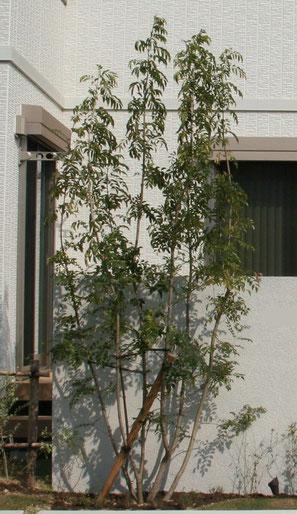 シマトネリコは(恐らく)常緑の株立ち植木としては日本で最も使われている植木。