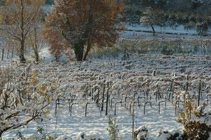 Sneeuw en ijs maken de wijnstokken sterk!