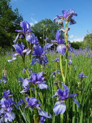 Sibirische Schwertlilie, Iris sibirica