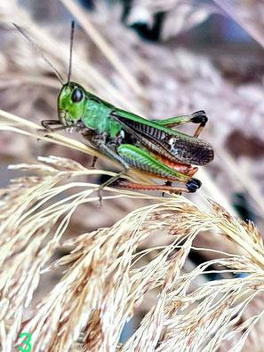 Heidegrashüpfer, (Stenobothrus lineatus) Foto von Oswald Rank.  Familie Acrididae (Feldheuschrecken), Unterfamilie Gomphocerinae (Grashüpfer)
