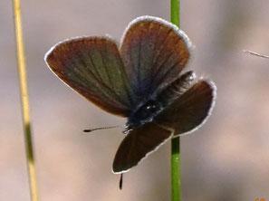 Oberseite Männchen, frisches Exemplar