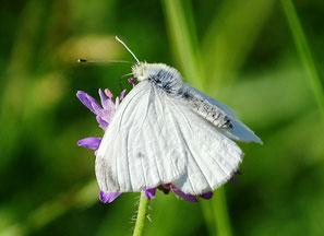 Frisch geschlüpft, Entfaltung der Flügel, Trocknung/Härtung, Männchen ein Mittelfleck Vorderflügeloberseite