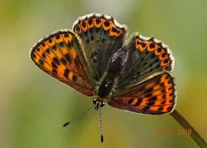 Weibchen