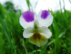Wildes Stiefmütterchen, Viola tricolor