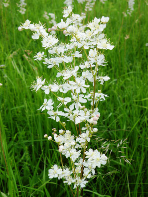 Kleines Mädesüß, Filipendula vulgaris