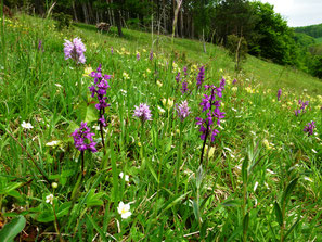 Kalkmagerrasen mit Orchideen
