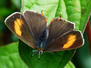 Weibchen, intesiver gefärbt als Männchen