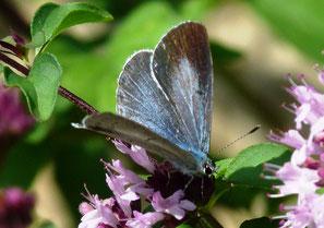 Weibchen oberseits mit schwärzlichen Rändern, Männchen rein blau