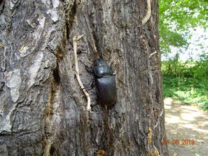 Hirschkäfer, Lucanus cervus (Weibchen)