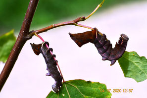 Raupen des Zahnspinners Notodonta torva an Espe