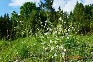 Rispige Graslilie, Anthericum ramosum