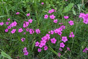 Heide-Nelke, Dianthus deltoides