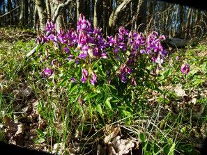 Frühlings-Platterbse, Lathyrus vernus
