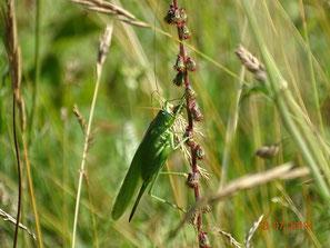 Grünes Heupferd (Tettigonia viridissima); Familie Tettigoniidae (Laubheuschrecken), Unterfamilie Tettigoniinae (Heupferde)