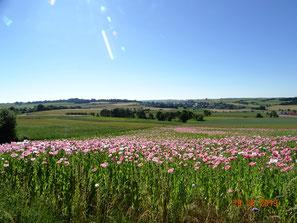 Mohnblüte auf dem Ringgauplateau