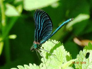 Frisch geschlüpfte Blauflügel-Prachtlibelle mit noch nicht vollständig gestreckten Flügeln, Calopteryx virgo, Männchen