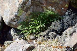 Nordischer Streifenfarn, Asplenium septentrionale