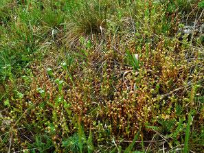 Saxifraga tridactylites, Dreifinger-Steinbrech