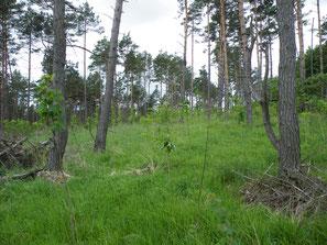 Umwandlung eines höchstartenreichen Pyrolo-Pinetum (Mooskiefernwald) durch Teilrodung und maschinelle Unterpflanzung, Vernichtung von Massenbeständen seltenster Arten