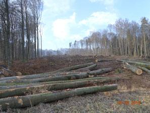 Hochwaldbeseitigung für Autobahnbau bei Sontra-Lindenau