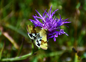 Kardeneule, Heliothis viriplaca