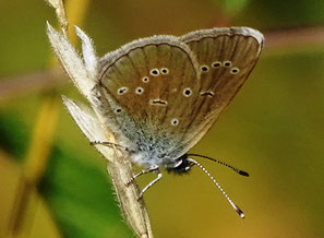 Weibchen Unterseite extrem überfärbt, meist heller