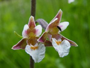 Exotisch anmutende Blüten Epipactis palustris