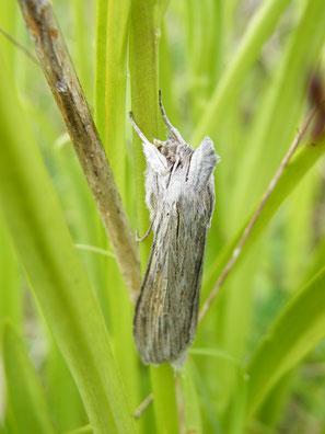 Schattenmönch, Cucullia umbratica